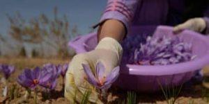 cultivo del azafrán